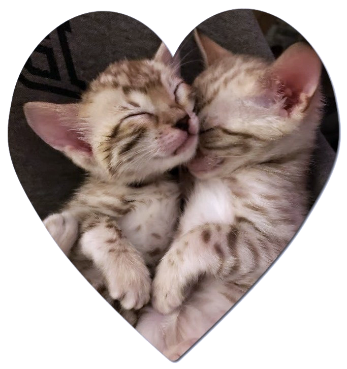 Furbaby Bengals – The cuddliest furbabies around